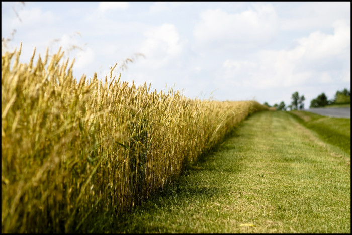 6. These amber waves of grain are serene on a hot summer day in Maryland.