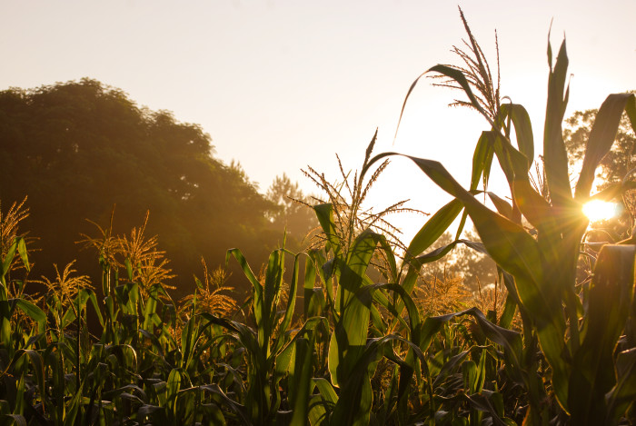 6. A field of cornstalks in Randolph County, Alabama.