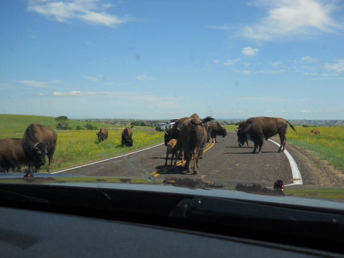 9. Bison can actually get pretty aggressive if provoked and sometimes charge people and cars.