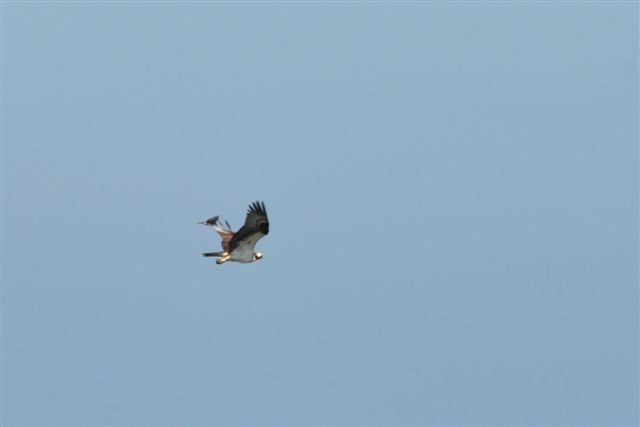 10. Trustom Pond is clearly an amazing place for Rhode Island wildlife. Here's a powerful shot of an osprey in flight over the area.