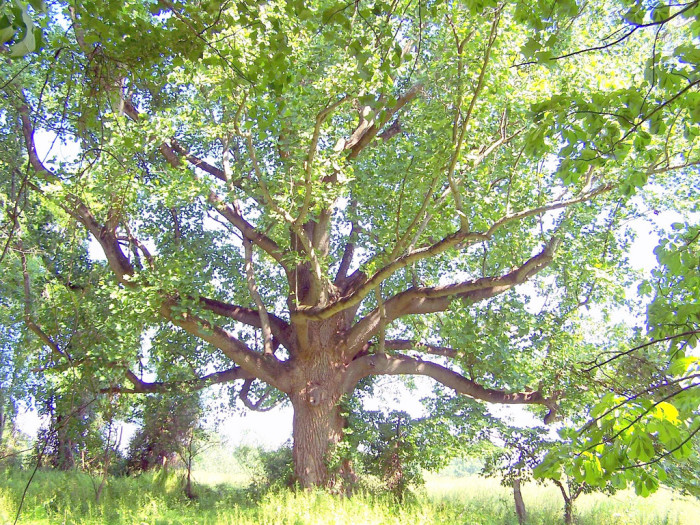 17. This impressive tree in Carroll County appears to be from a story book.