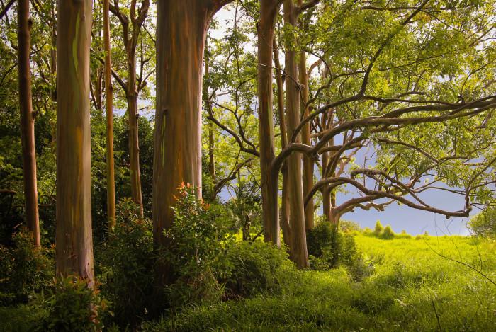 5. This grove of rainbow eucalyptus trees stands along Maui's Hana Highway.