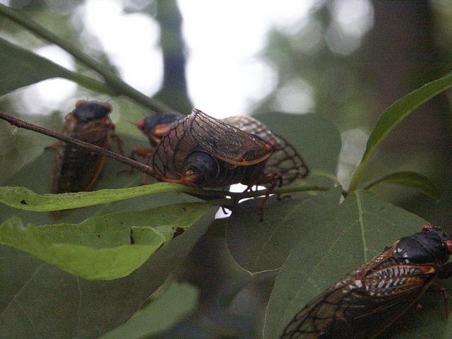 17 year Cicada Pennsylvania