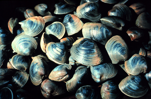 6. Quahogs, littlenecks, steamers; Rhode Islanders take their clams very seriously and can name different varieties!