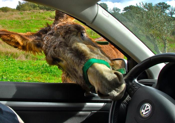 10. A Renegade Donkey Hijacking Your Car
