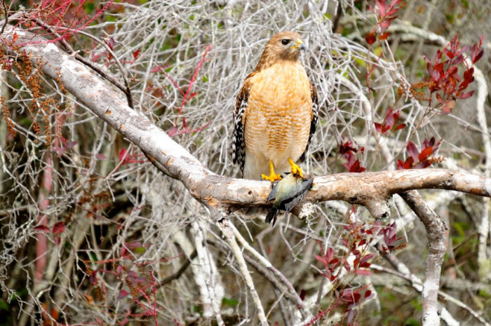 A Red Shouldered Hawk, surveying the land.