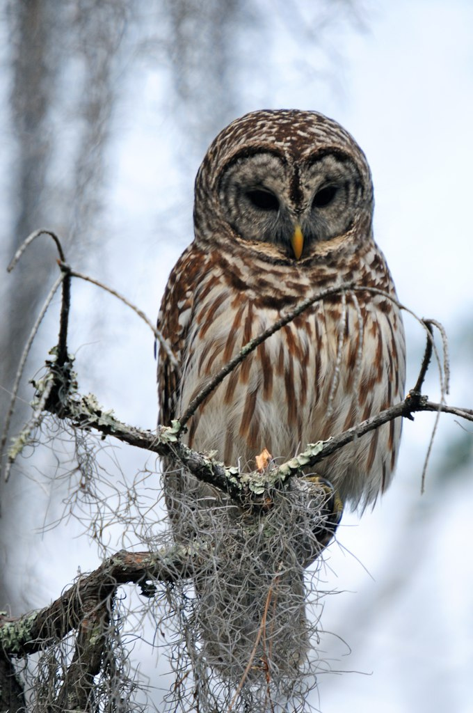 A Barred Owl, staying silent.