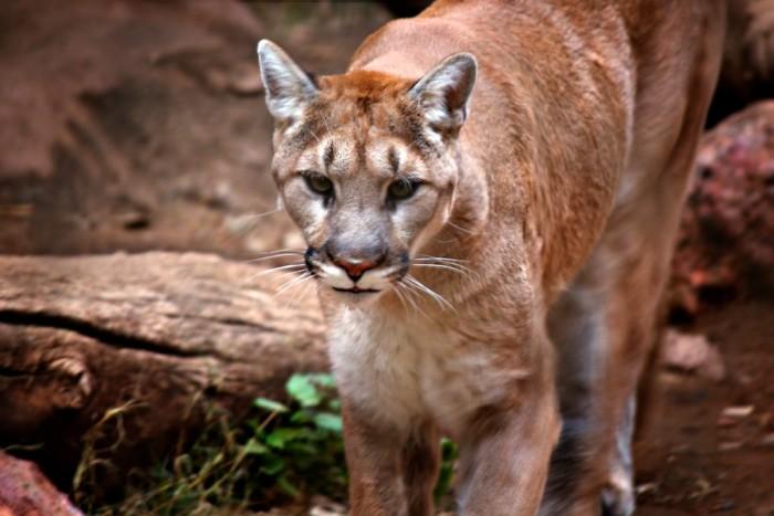 11. Mountain lion