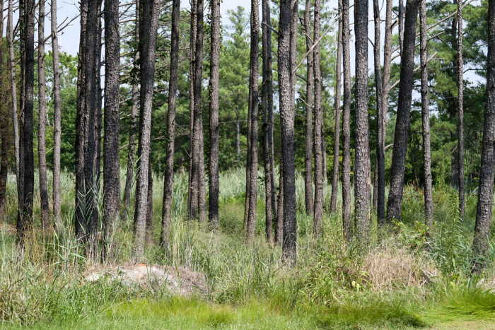 15. This bunch of loblolly pines can be found on Deal Island.