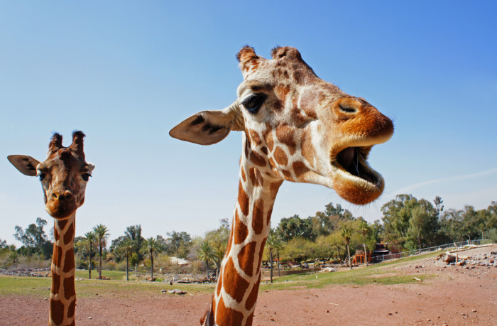 13. But before you search for a different mammal to fish from the back of, know that giraffes are off-limits too.