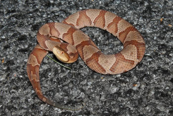 1. Copperhead Snakes