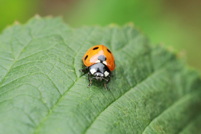 Asian Lady Beetle - Bugs Found In South Dakota