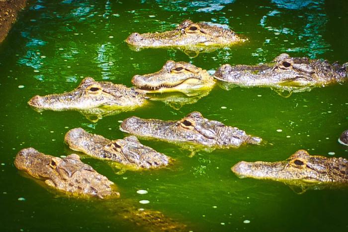 8. Those Untamable Alligators