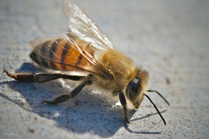 1. Africanized honey bee