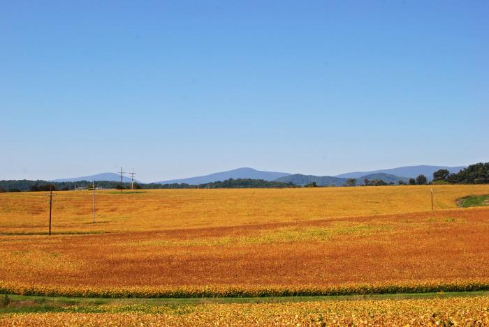 10. Fields of gold in Shenandoah
