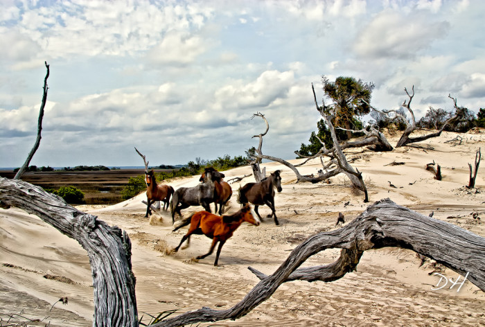 3. Watching the wild horses of Cumberland Island: