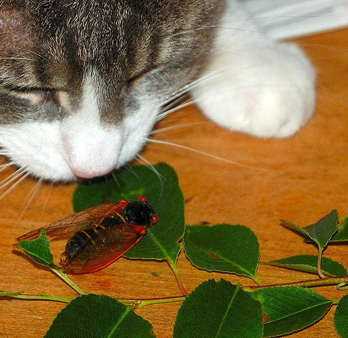 """At first you may not even be aware that the periodical cicadas are back until your cat brings you this """"gift."""""""