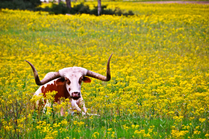 9. A longhorn lounges among the sunflowers. (Latexo)