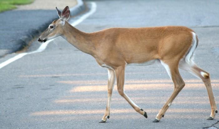 8. Deer crossing the road