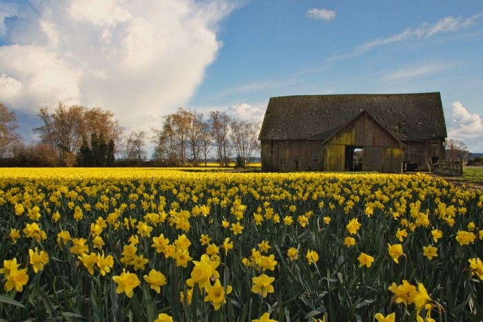 3. La Conner is home to some of the most picturesque daffodil and tulip fields.