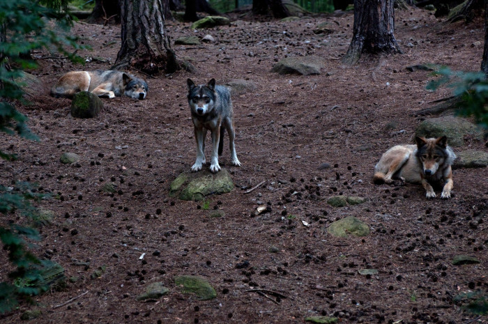 Early settlers of the area reported astounding levels of wolf activity. According to the late folklorist Richard Cahill, the local Agawam Indians stated that their ancestors actually possessed heads like dogs and that eating a special local plant could allow anyone to adopt the same canine features.