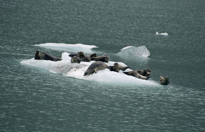 Theories about the disappearing harbor seals.