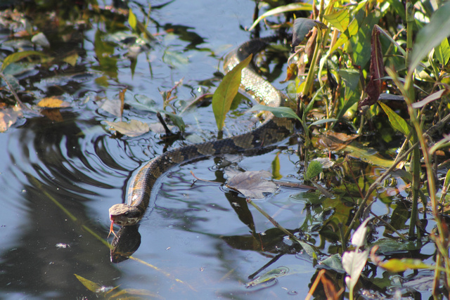 10. Eastern cottonmouth