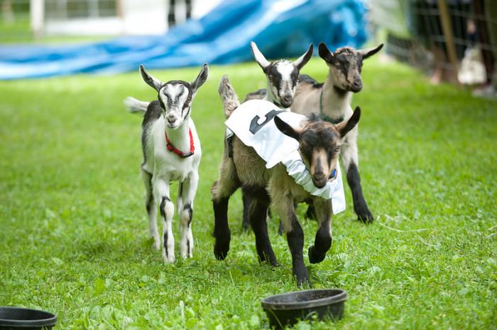 Goat Olympics.