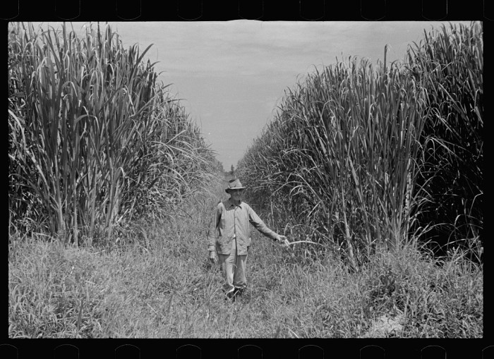 Sugarcane field in Plaquemines, Louisiana, September 1935