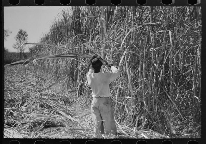 14. Cutting sugarcane in field near Lafayette