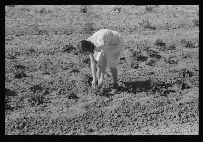 2. This photo shows a woman picking strawberries in Casa Grande Valley. Part of a cooperative garden, some of the fruits picked from here were also used for home consumption by members of the co-op.