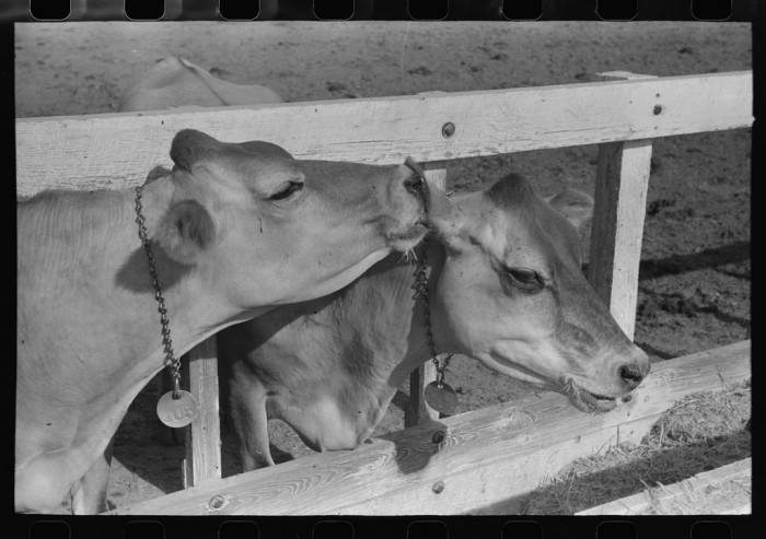 9. Not all agricultural work revolved around plants. Some included lovely animals like this pair of cows,. (How cute!)