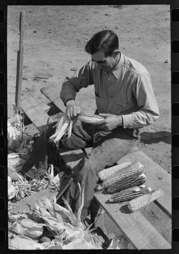 7. Another Concho farmer husks corn, perhaps also for drying?