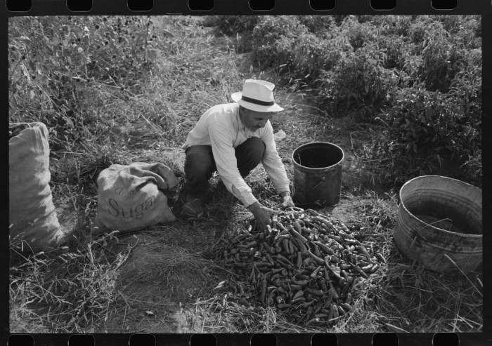 6. A man in 1940 Concho sorts through his chile harvest in the field before drying them.