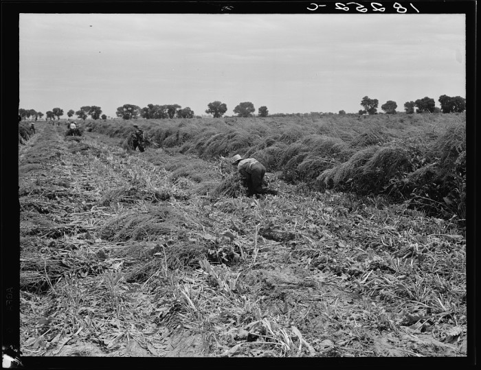 3. This photo shows a man working in a sugar beet field in 1938 Chandler.