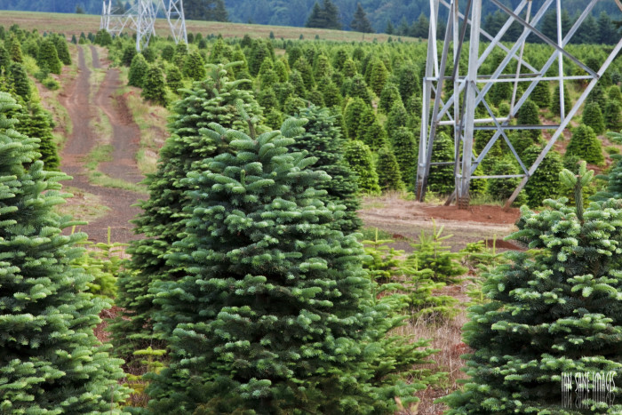5. I can't wait to go to the Christmas tree farm!