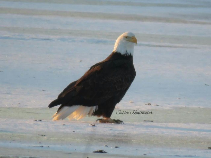 Is there anything more American than this bald eagle just hanging around at Cody Park in North Platte?