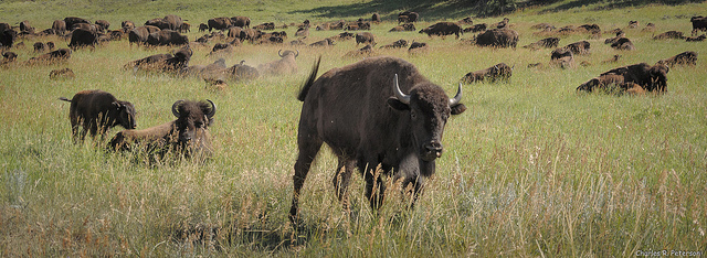 Bison herd near Custer Park.
