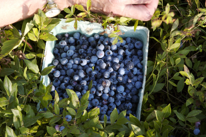 5. You'll steer clear of any blueberry that's not from Maine.