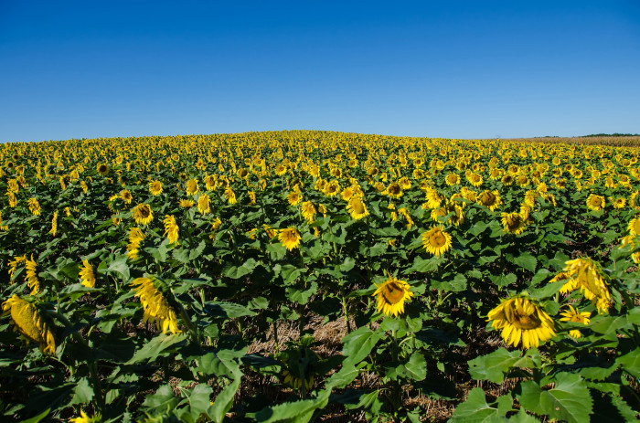 12. This sunflower field in Cecil County is positively delightful.