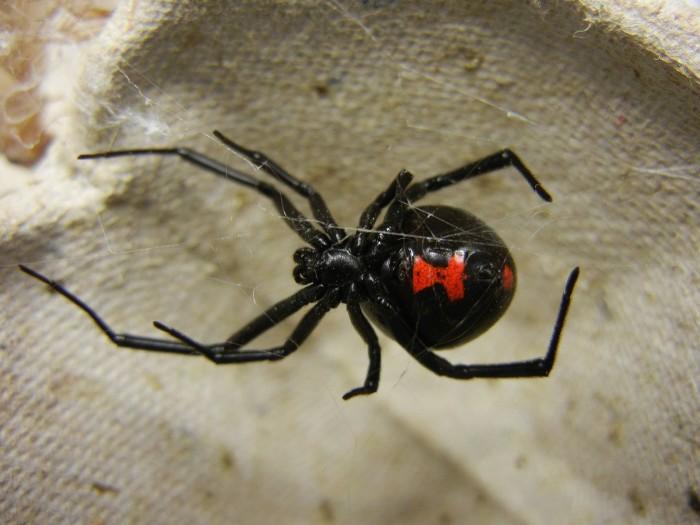 3. Western Black Widow spiders can be found in North Dakota.