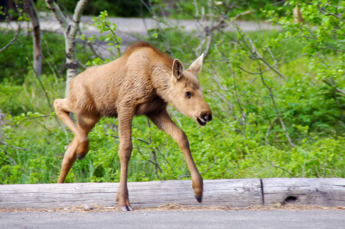 14. A sweet little moose calf.