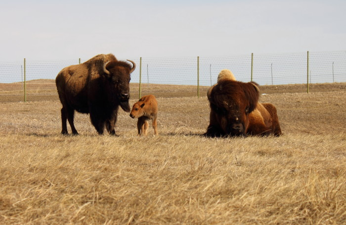 9. A sweet bison family.