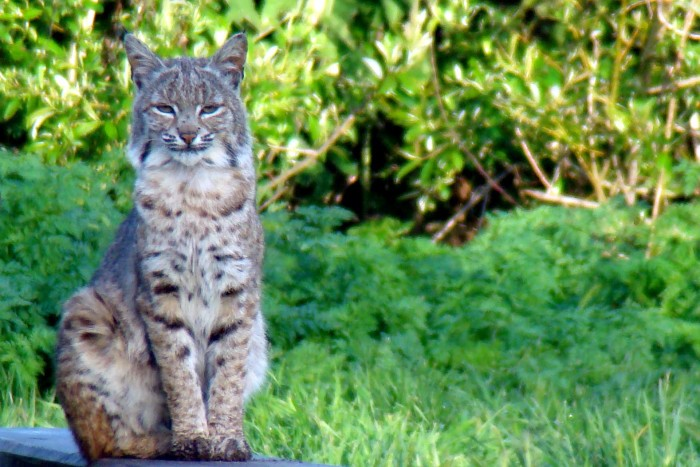 4. A bobcat sitting pretty.