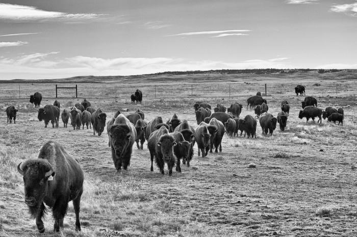 Buffalo (John B. Kalla:flickr)