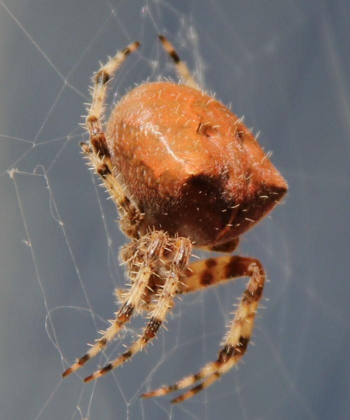6. Cat-Faced Spider