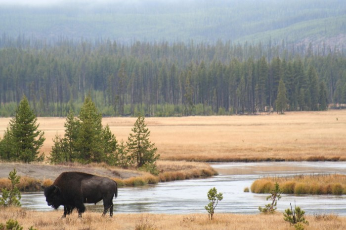 8. Bison at Yellowstone