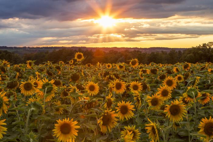 5. Sunflowers in Lansing