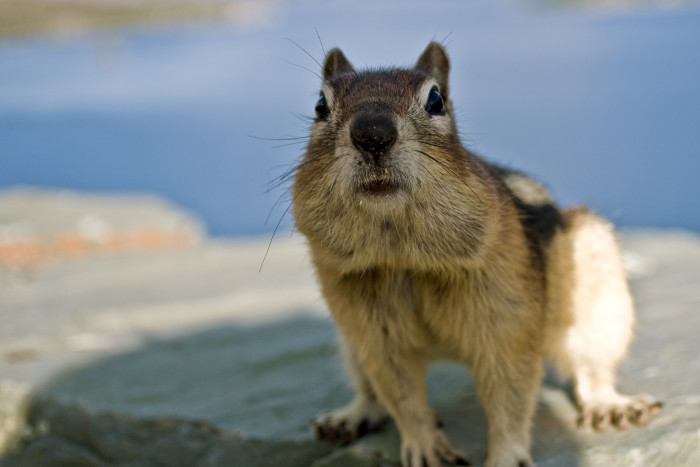 13. A chipmunk that thinks it's mealtime.