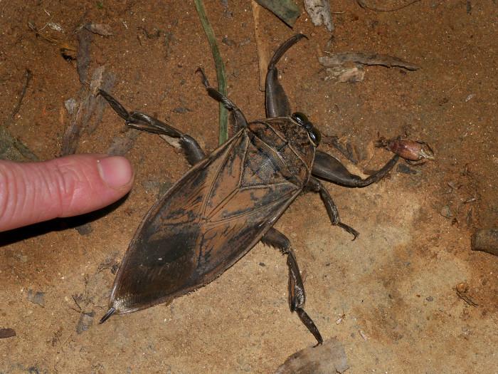 7. Giant Water Bug